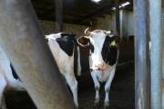 Vorschau Kuh im Stall