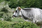 Vorschau Kuh im Cilento vorausschauend