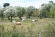 Vorschau Kühe im Cilento unter Olivenbäumen