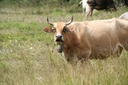 Vorschau Kuh im Cilento selbstbewusst