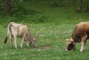 Vorschau Cilento-Kühe grasend